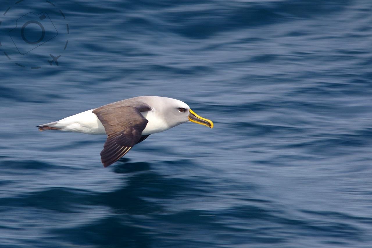Cruising for Albatross